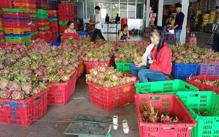 Thanh long, dưa hấu rớt giá còn 6.000 đồng/kg vì thị trường Trung Quốc bấp bênh