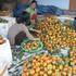 Nông dân thất thu vì quýt được mùa, rớt giá