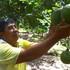 Nông dân An Giang thu nhập hơn 1 tỷ đồng mỗi năm nhờ bưởi da xanh