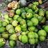 Dừa tạo hình lạ đón Tết Mậu Tuất bị rụng trái hàng loạt