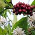 8.000 ha cà phê ra hoa trái vụ khiến người dân lo lắng