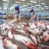 Cá tra phải cạnh tranh với cá rô phi trên thị trường Trung Quốc