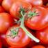 Mỗi sào cà chua cho thu nhập cả triệu đồng