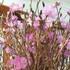 """Sự thật về hoa đỗ quyên ngủ đông - """"cành củi khô"""" bị tẩm hóa chất?"""