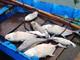 Cá chết hàng loạt gần cửa biển Lăng Cô