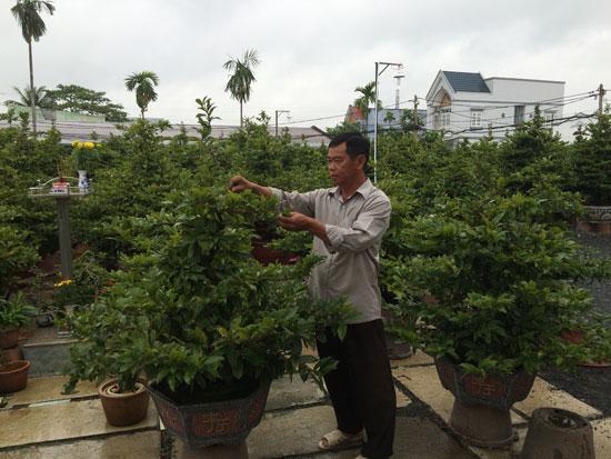 Nhiều nhà vườn trồng mai tại Thành phố Hồ Chí Minh lo lắng khi mai bung nụ nở sớm trước Tết.
