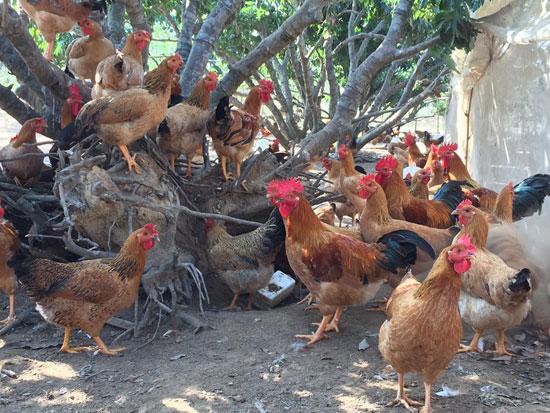 Trang trại chăn nuôi gà đồi, gà thả vườn quy trình sản xuất sạch của gia đình anh Nguyễn Văn Tụ, thôn Hồng Lạc, xã Đồng Tâm, huyện Yên Thế (Bắc Giang).