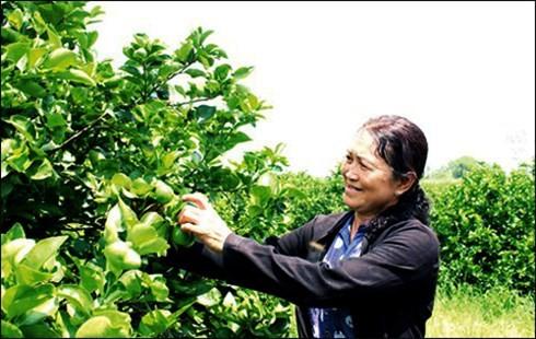Giống chanh không hạt ít gai ở thân và quả giống với quả chanh truyền thống. Khi cành ở giai đoạn thành thục thì các gai bị thoái hóa, cây cho quả sai, một chùm cho 7-8 quả (Ảnh: KT)