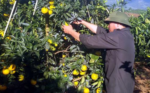 Nông dân Cao Phong chăm sóc cam theo quy trình VietGAP