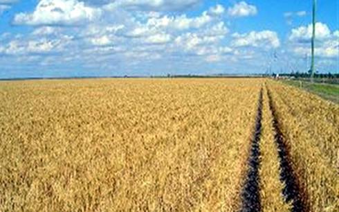 Có vùng nguyên liệu là điều kiện bắt buộc đối với thương nhân kinh doanh xuất khẩu gạo. (Ảnh minh họa: KT)
