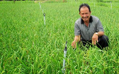 Cây tỏi trồng ở Khánh Hòa phát triển nhanh, cho năng suất cao mang lại bạc tỷ cho người nông dân (Ảnh minh họa: Toikhanhhoa.com)