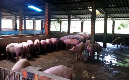 Nhiều hộ chăn nuôi lợn tại Đồng Tháp đang gặp khó khăn và không tái đàn dịp Tết.
