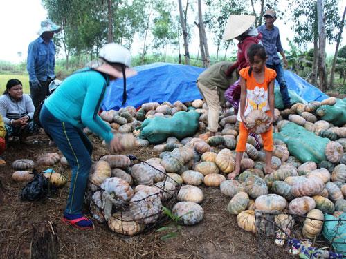 Bí đỏ chờ tiêu thụ ở xã Ninh Sơn, thị xã Ninh Hòa, tỉnh Khánh Hòa Ảnh: Kỳ Nam