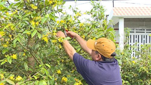 Mai vàng ở làng mai vàng Phước Định 2 đã nở hoa dù còn gần 2 tháng nữa mới đến Tết Ảnh: Nam Hồng