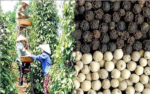 Hạt tiêu Việt Nam được đánh giá là số 1 thế giới