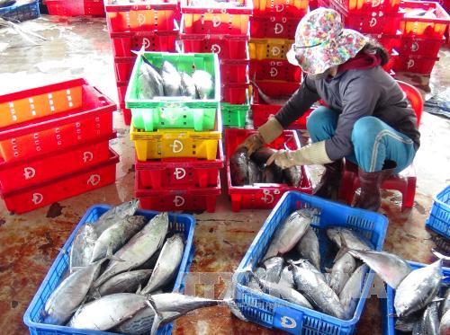 Phân loại cá ngừ sọc dưa trước khi đưa đi tiêu thụ.