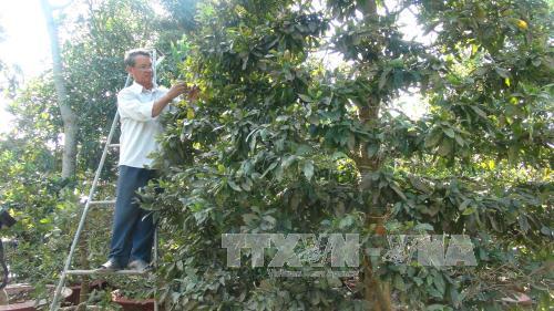 Chăm sóc mai tại làng mai vàng Phước Định. Ảnh: Huỳnh Kim Phượng/TTXVN