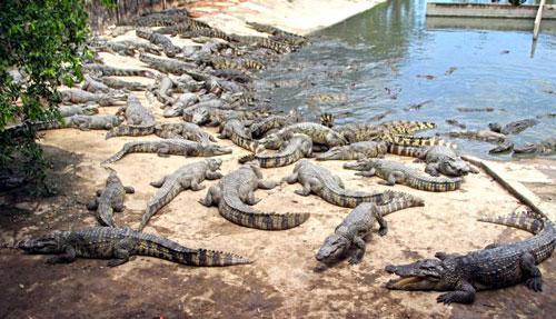 Giá cá sấu quá thấp không bán được, người nuôi đành giữ chúng lại và bỏ đói