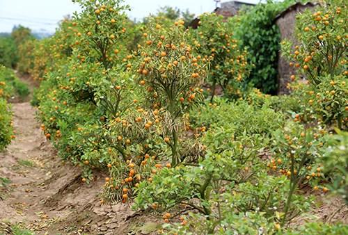 Nhiều nhà vườn phải chặt bỏ cây do quả chín, lá úa