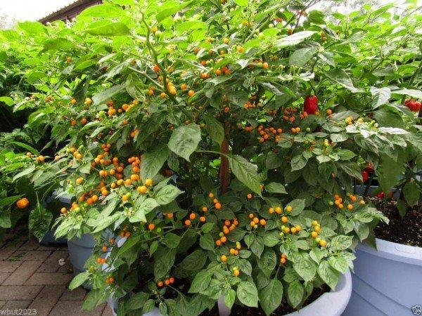 Được biết, nó chỉ được trồng ở các cánh rừng tại phía bắc Peru.