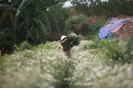 Mùa cúc họa mi không dài, chỉ một vài tuần tính từ khi những luống hoa đầu tiên bung nở đồng loạt. Thế nên đây cũng là thời gian người dân trồng hoa tập trung sức lực vào việc thu hoạch, cắt hoa.