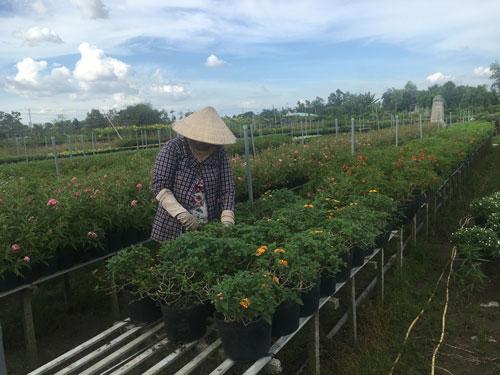 Các hộ trồng hoa tại huyện Chợ Lách, tỉnh Bến Tre thấp thỏm vì thời tiết bất thường