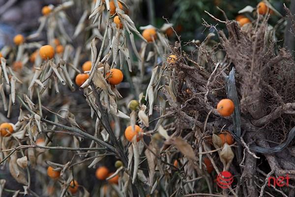 Vài năm trở lại đây, người trồng quất Tứ Liên gặp rất nhiều khó khăn trong việc chăm sóc cây cho ra quả đúng dịp Tết Nguyên đán.