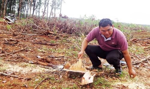 Anh Rơ Lan Beo, làng Mít Kom 1 bên vườn cao su vừa bán.