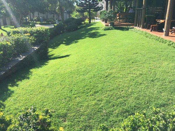 Nhu cầu cỏ để trang trí ở Đà Nẵng, Quảng Nam là rất lớn