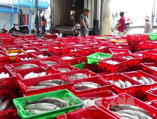 Tập kết cá ngừ sọc dưa ở cảng cá Hòn Rớ, thành phố Nha Trang.