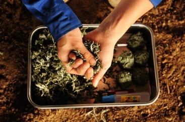 Các loại thảo dược chữa bệnh cho bò cũng được trồng theo tiêu chuẩn organic tại trang trại TH.