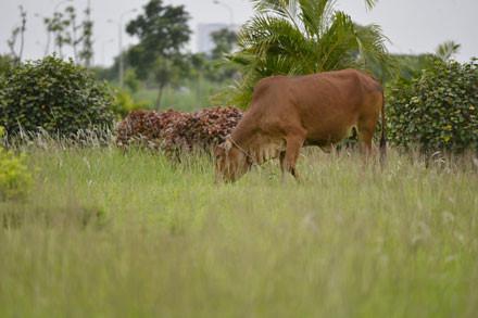 Gần Trung tâm Hội nghị quốc gia, nhiều người còn chăn thả trâu, bò vào những thảm cỏ, bồn hoa trong đại lộ mà không ai trông coi, ngăn cản.