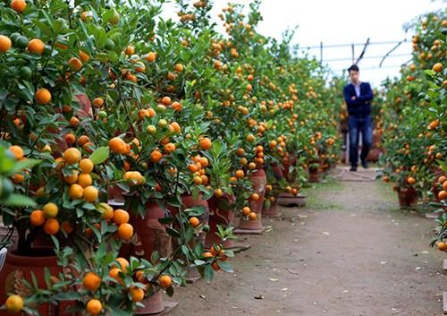 Tại vườn quất Bonsai Tiến Mạnh, nghệ nhân Tiến Mạnh cho biết, thời tiết khiến cho quả quất năm nay không được căng mọng như những năm trước. Tuy nhiên, giá quất không đổi. Cây quất Bonsai rẻ nhất giá 300 ngàn đồng.