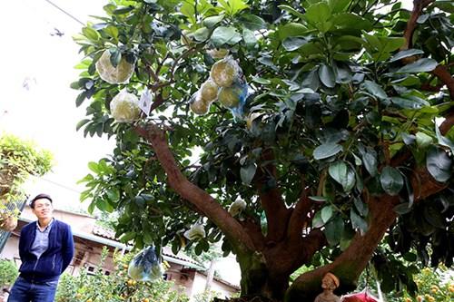 Cây bưởi diễn Bonsai này được định giá 90 triệu đồng. Tết năm nay, cây đã có người đặt thuê.