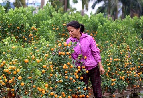 Tuy nhiên, nhiều người dân Tứ Liên lạc quan: Mất mùa, được giá, mong những cây quất còn đẹp sẽ bán được giá cao vào dịp Tết.