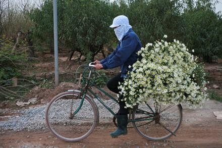 Những ngày gần đây giá hoa cúc họa mi đang rất cao, chỉ một bó nhỏ bằng nắm tay bán từ 80 đến 100 nghìn đồng. Thu nhập một vụ của người dân vừa bán hoa vừa làm điểm dịch vụ chụp ảnh lên đến cả trăm triệu đồng.