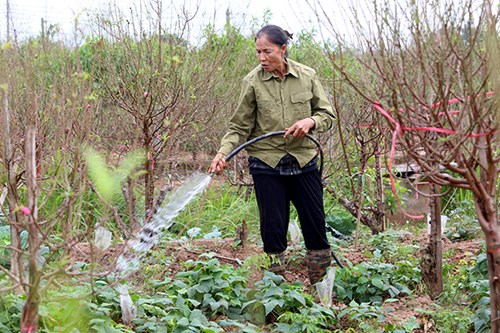 Đối với người dân trồng đào ở Nhật Tân, do thời tiết nắng nóng, họ chọn thời điểm tuốt lá muộn hơn mọi năm