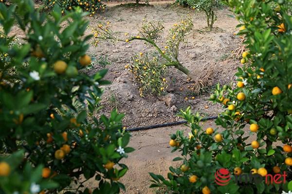 Những cây quất chết khô khiến vườn quất thưa hẳn một góc.