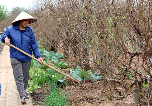 Cô Nhuận, chủ vườn đào Nhuận Phát cho biết, gia đình vừa tuốt lá vào đầu tháng 11 Âm lịch. Nếu thuận lợi thì cây sẽ ra hoa đẹp vào đúng dịp Tết. Tất cả trông chờ vào thời tiết tháng cuối năm