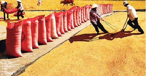 Sản xuất lúa gạo rất cần sự kiến tạo, dẫn dắt cụ thể, sâu sát hơn nữa của các cấp, các ngành từ Trung ương đến địa phương. (Ảnh minh họa: KT)