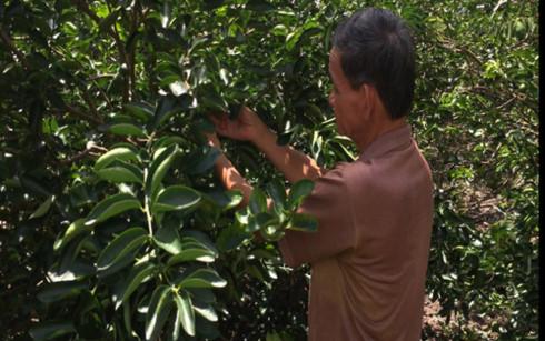 Ông Nguyễn Văn Dư với vườn chanh không hạt cho thu nhập hàng trăm triệu đồng mỗi năm