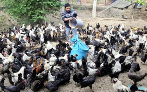 Trang trại gà của gia đình chị Lan Anh ở thôn Nậm Châu, xã Tà Chải, huyện Bắc Hà. (Ảnh:bacha.laocai.gov.vn)