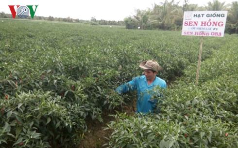 Nông dân xã Bình Ninh, huyện Chợ Gạo, tỉnh Tiền Giang thu hoạch ớt có niềm vui trúng mùa, trúng giá