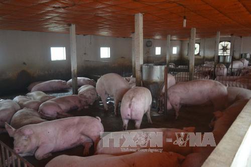 Giá lợn ở Đồng Nai quay đầu giảm do nguồn cung dư thừa. Ảnh: Thu Hoài/TTXVN