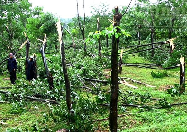 Chỉ vài tiếng đồng hồ bão quét qua, hàng ngàn ha cao su ở Bắc Trung Bộ đã bị gãy đổ.