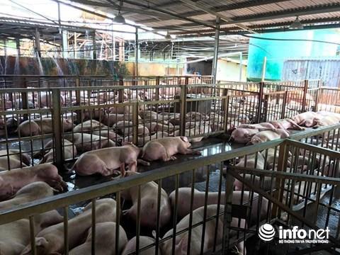 Giá heo hơi tại Đồng Nai đang xuống thấp khiến nhiều hộ chăn nuôi lo lắng.