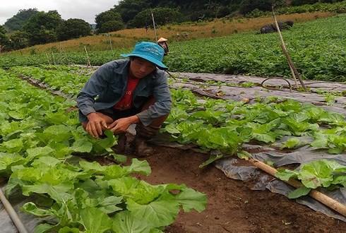 Giàng A Dạy và vườn rau sạch áp dụng công nghệ tưới nhỏ giọt (Ảnh: KT)