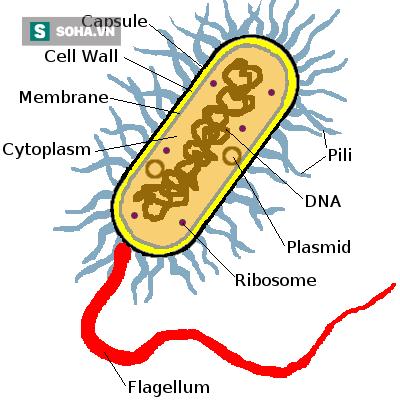 Hình 1: Cấu trúc vi khuẩn.