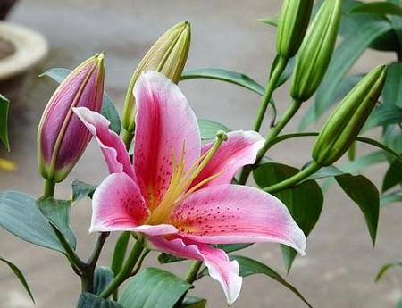 Hoa ly được ưa chuộng bởi màu sắc đẹp và hương thơm đặc biệt. (Ảnh: Internet)