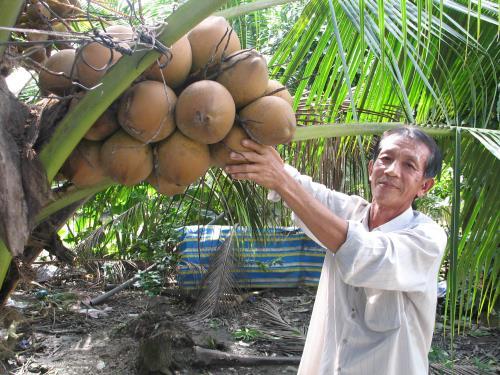Ông Trần Văn Nhâm bên vườn dừa xiêm đỏ. Ảnh: Minh Trí/TTXVN